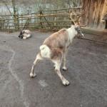 Reindeer peeing